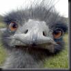 Aussie Emu..