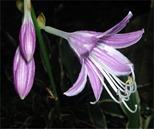 hosta-flower2